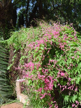 Flowers in ghana april 2005 there is a vine weed growing all over that has pretty pink flowers mightylinksfo